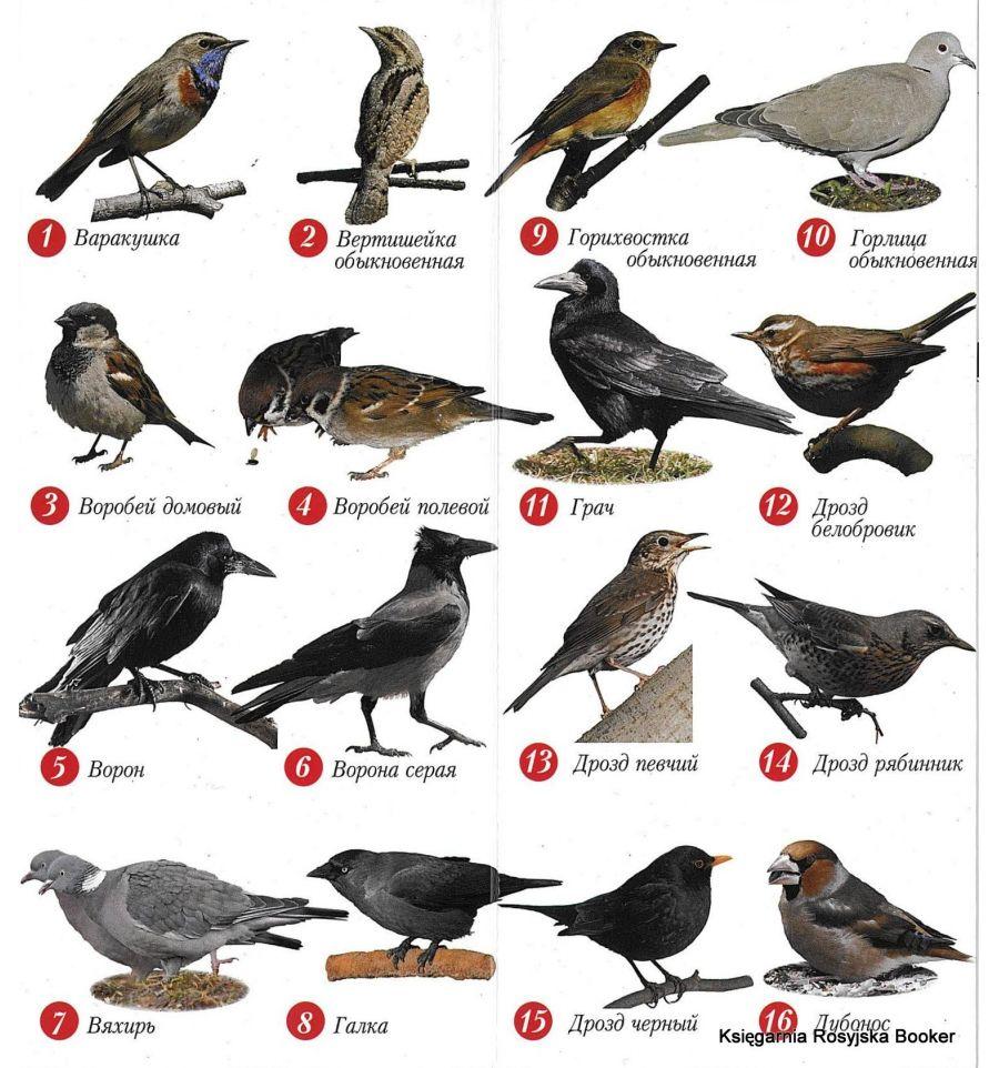 решили, атлас птицы подмосковья фото с названиями вот иголки